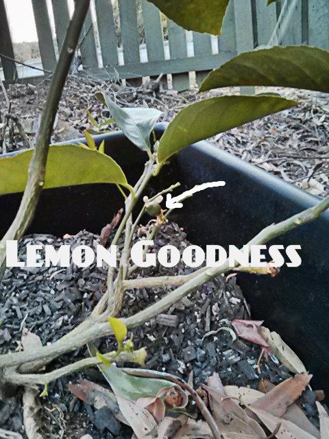 LemonGoodness